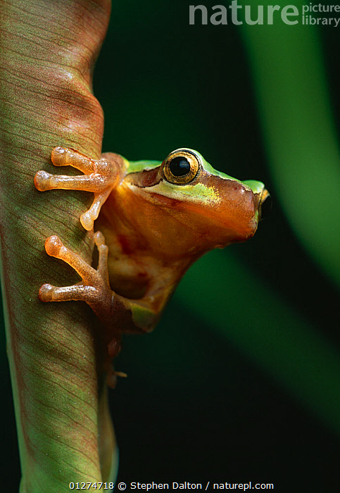 Chinese tree frog {Rana chinensis / rugulosus} on curled leaf, controlled conditions, from China  ,  AMPHIBIANS, Anura, CHINA, FROGS, PORTRAITS, VERTEBRATES, VERTICAL,Asia  ,  Stephen Dalton