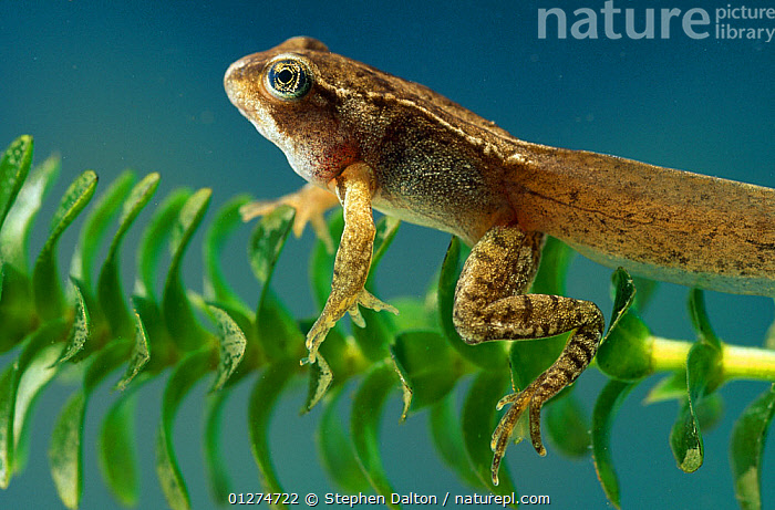 European edible frog {Rana esculenta} mature tadpole with rear and front legs developed, underwater, controlled conditions  ,  AMPHIBIANS, Anura, AQUATIC, DEVELOPMENT, FRESHWATER, froglet, FROGS, LARVAE, PLANTS, PORTRAITS, TEMPERATE, UNDERWATER, VERTEBRATES  ,  Stephen Dalton