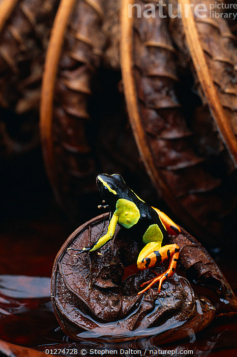 Painted mantella frog (Mantella madagascariensis) on leaf, native to Madagascar, controlled conditions  ,  AMPHIBIANS,Anura,FROGS,LEAVES,MADAGASCAR,TREE FROGS,VERTEBRATES,VERTICAL , Captive  ,  Stephen Dalton