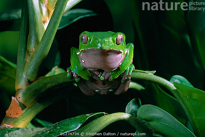 Giant monkey / leaf frog {Phyllomedusa bicolor} sitting on leaf, controlled conditions, from South America  ,  AMPHIBIANS,Anura,FROGS,giant monkey frog,GREEN,PORTRAITS,SOUTH AMERICA,TREE FROGS,VERTEBRATES , Captive  ,  Stephen Dalton
