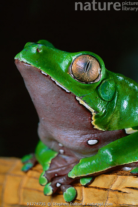 Giant monkey / leaf frog {Phyllomedusa bicolor} portrait, controlled conditions, from South America  ,  AMPHIBIANS,Anura,EYES,FROGS,giant monkey frog,GREEN,PORTRAITS,SOUTH AMERICA,TREE FROGS,VERTEBRATES,VERTICAL , Captive  ,  Stephen Dalton