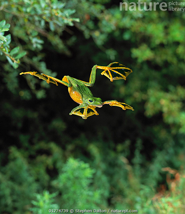 Wallace's flying frog (Rhacophorus nigropalmatus) leaping, controlled conditions, from Asia  ,  ACTION,AMPHIBIANS,Anura,ASIA,BEHAVIOUR,CUTOUT,FEET,FLYING,FROGS,high speed,JUMPING,LEAPING,MOVEMENT,TREE FROGS,VERTEBRATES , Captive  ,  Stephen Dalton