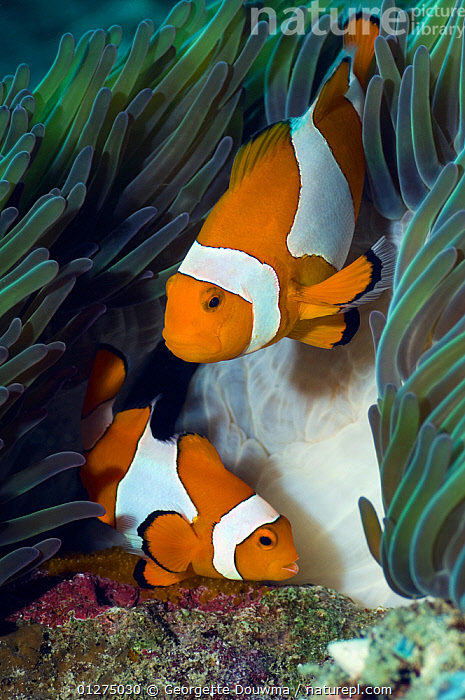 False clown anemonefish (Amphiprion ocellaris) pair (male is the smaller fish) spawning, with newly laid eggs on coral rock, Misool, Raja Ampat, West Papua, Indonesia  ,  ANEMONE FISH,ASIA,CLOWNFISH,CLOWN FISH,DAMSELFISH,EGGS,FISH,INDO PACIFIC,MALE FEMALE PAIR,MARINE,OSTEICHTHYES,SEA ANEMONES,TROPICAL,UNDERWATER,VERTEBRATES,VERTICAL,SOUTH-EAST-ASIA,core collection xtwox  ,  Georgette Douwma