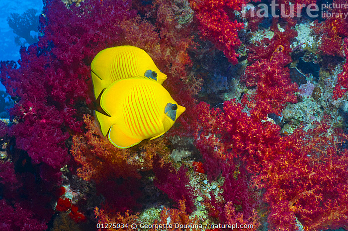 Golden butterflyfish (Chaetodon semilarvatus) pair with soft corals, Egypt, Red Sea  ,  AFRICA,BUTTERFLYFISH,CORALS,EGYPT,FISH,MALE FEMALE PAIR,MARINE,NORTH AFRICA,OSTEICHTHYES,RED SEA,TROPICAL,UNDERWATER,VERTEBRATES,YELLOW,NORTH-AFRICA  ,  Georgette Douwma