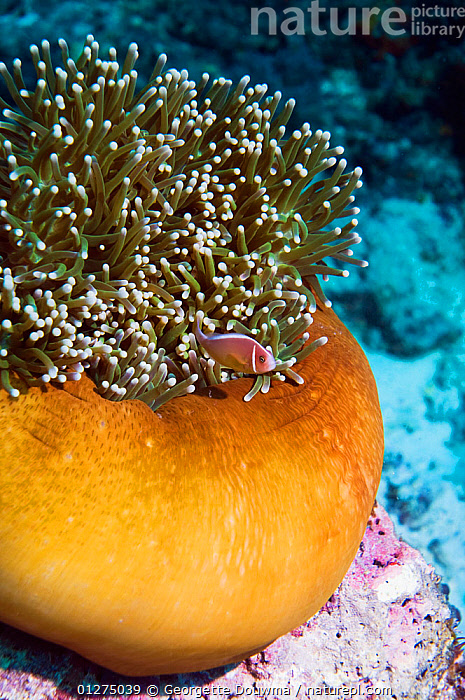 Pink anemonefish (Amphiprion perideraion) by anemone, Bali, Indonesia  ,  ANEMONE FISH,CLOWNFISH,CLOWN FISH,DAMSELFISH,FISH,INDONESIA,INDO PACIFIC,MARINE,OSTEICHTHYES,SOUTH EAST ASIA,TROPICAL,UNDERWATER,VERTEBRATES,VERTICAL,SOUTH-EAST-ASIA,Asia  ,  Georgette Douwma