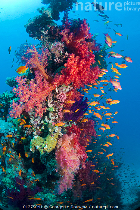 Lyretail anthias / Goldies (Pseudanthias squamipinnis) on coral reef with soft corals, Red Sea, Egypt  ,  AFRICA,ANTHIAS,CATALOGUE2,COLOURFUL,coral reef,CORAL REEFS,CORALS,Egypt,FISH,GROUPS,large group of animals,MARINE,Nobody,on the move,OSTEICHTHYES,PINK,red sea,RED SEA,SEALIFE,SHOAL,shoal of fish,shoals,SOFT CORAL ,TROPICAL,UNDERWATER,VERTEBRATES,VERTICAL,WILDLIFE,NORTH-AFRICA  ,  Georgette Douwma