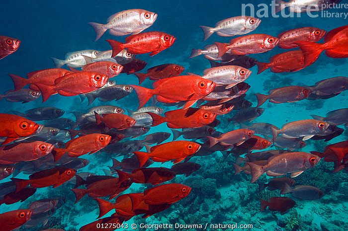 Big eye / Goggle eye fish (Priacanthus hamrur) large shoal over reef, Egypt, Red Sea  ,  AFRICA, BIGEYES, Egypt, FISH, GROUPS, MARINE, OSTEICHTHYES, RED, RED-SEA, SHOAL, TROPICAL, UNDERWATER, VERTEBRATES,NORTH-AFRICA  ,  Georgette Douwma