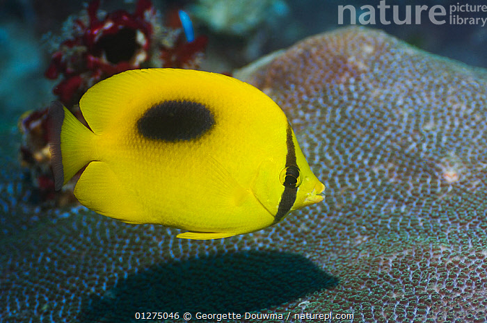 Ovalspot butterflyfish (Chaetodon speculum) Misool, Raja Ampat, West Papua, Indonesia  ,  BUTTERFLYFISH,FISH,INDONESIA,INDO PACIFIC,MARINE,OSTEICHTHYES,SOUTH EAST ASIA,SPOTS,TROPICAL,UNDERWATER,VERTEBRATES,YELLOW,SOUTH-EAST-ASIA,Asia  ,  Georgette Douwma