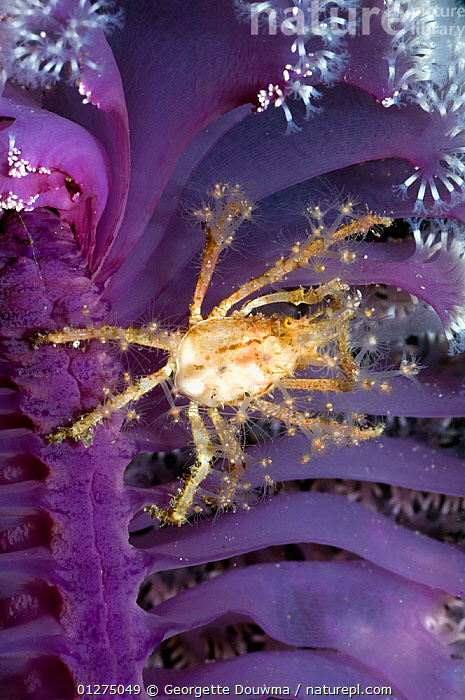 Hydroid / Fairy crab (Hyastenus bispinosus) on Sea pen (Pteroides sp) where it has climbed to feed on plankton floating past, it has decorated its body with hydroid polyps, Rinca, Indonesia  ,  ARTHROPODS, BEHAVIOUR, CRABS, CRUSTACEANS, DECORATOR-CRABS, FEEDING, HYDROIDS, INDONESIA, INDO-PACIFIC, INVERTEBRATES, MARINE, MIXED-SPECIES, PURPLE, SOUTH-EAST-ASIA, TROPICAL, UNDERWATER, VERTICAL,Asia,,NP,Komodo National Park,UNESCO World Heritage Site,  ,  Georgette Douwma