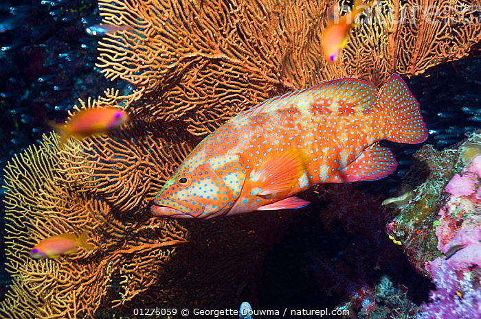 Coral hind (Cephalopholus miniata) Andaman Sea, Thailand  ,  ASIA,CORAL REEFS,CORALS,FISH,GROUPERS,INDIAN OCEAN,MARINE,ORANGE,OSTEICHTHYES,SOUTH EAST ASIA,SPOTS,TROPICAL,UNDERWATER,VERTEBRATES,SOUTH-EAST-ASIA  ,  Georgette Douwma