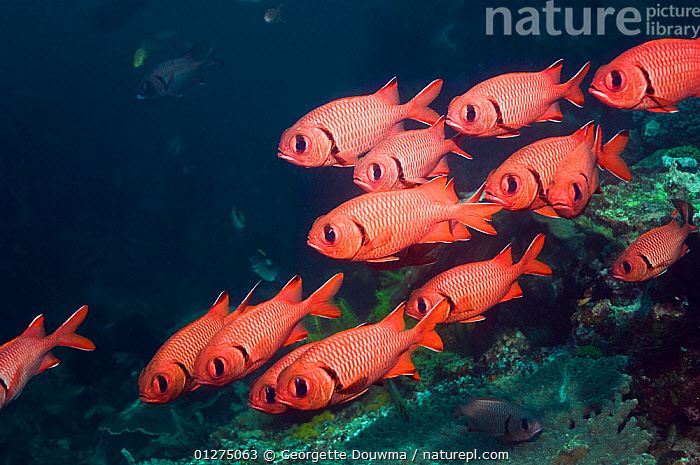 Bigscale soldierfish (Myripristis berndti) resting on reef with crinoids, Rinca, Indonesia  ,  FISH,GROUPS,INDONESIA,INDO PACIFIC,MARINE,OSTEICHTHYES,RED,SHOAL,SOLDIERFISH,SOUTH EAST ASIA,TROPICAL,UNDERWATER,VERTEBRATES,SOUTH-EAST-ASIA,Asia,,NP,Komodo National Park,UNESCO World Heritage Site,  ,  Georgette Douwma