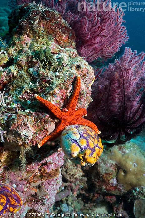 Red seastar (Fromia milleporella) and Seasquirt / Tunicate (Polycarpa aurata) Misool, Raja Ampat, West Papua, Indonesia  ,  ASTEROIDEA,CHORDATES,CORALS,ECHINODERMS,INDONESIA,INDO PACIFIC,INVERTEBRATES,MARINE,MIXED SPECIES,SEA STARS,SOUTH EAST ASIA,STARFISH,TROPICAL,TUNICATES,UNDERWATER,VERTICAL,SOUTH-EAST-ASIA,Asia  ,  Georgette Douwma