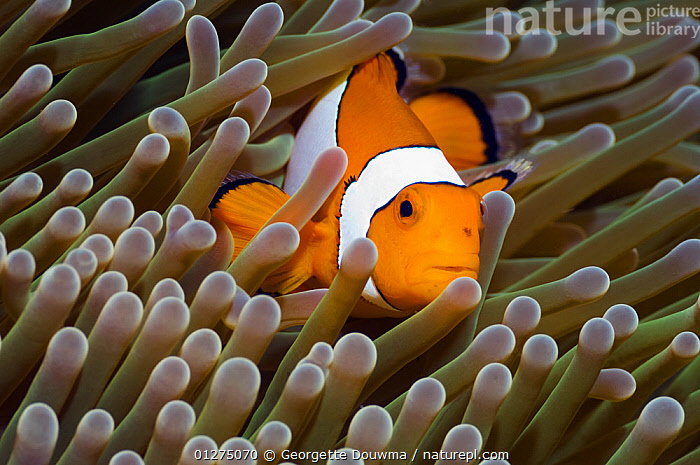 False clown anemonefish (Amphiprion ocellaris) amongst anemone tentacles, Misool, Raja Ampat, West Papua, Indonesia.  ,  ANEMONE FISH,CLOWNFISH,CLOWN FISH,CORAL REEFS,DAMSELFISH,FISH,INDONESIA,INDO PACIFIC,MARINE,OSTEICHTHYES,TROPICAL,UNDERWATER,VERTEBRATES,SOUTH-EAST-ASIA,Asia,core collection xtwox  ,  Georgette Douwma
