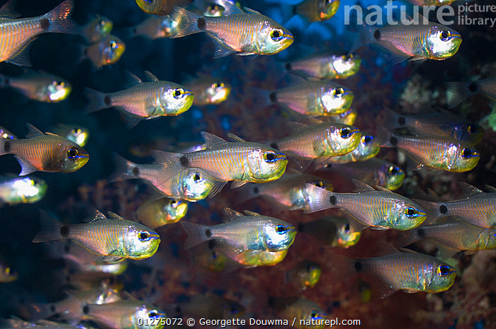 Shoal of Orange-lined cardinalfish (Archamis fucata) Egypt, Red Sea.  ,  CARDINAL FISH,CARDINALFISH,CORAL REEFS,EGYPT,FISH,GROUPS,MARINE,OSTEICHTHYES,RED SEA,SHOAL,TROPICAL,VERTEBRATES,NORTH-AFRICA,Africa,core collection xtwox  ,  Georgette Douwma
