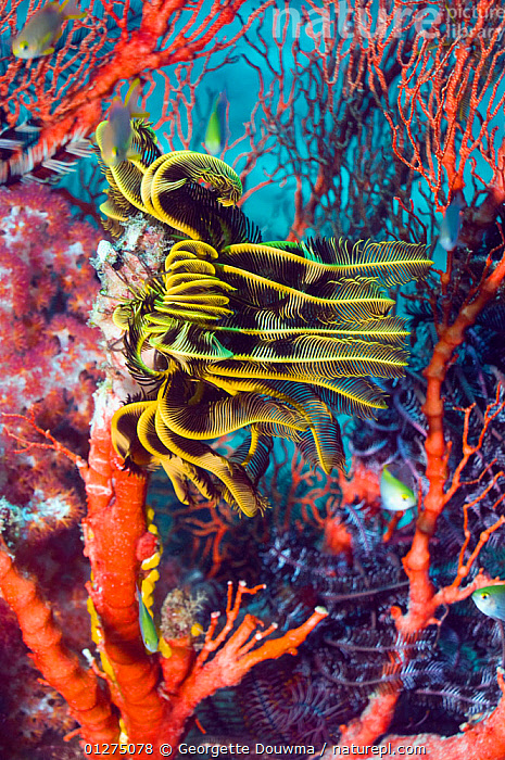 Featherstar (Crinoidea) on Gorgonian coral, Misool, Raja Ampat, West Papua, Indonesia  ,  COLOURFUL,CORAL REEFS,CORALS,INDONESIA,INDO PACIFIC,TROPICAL,UNDERWATER,VERTICAL,WEST PAPUA,SOUTH-EAST-ASIA,Asia,Echinoderms,Marine,Invertebrates  ,  Georgette Douwma