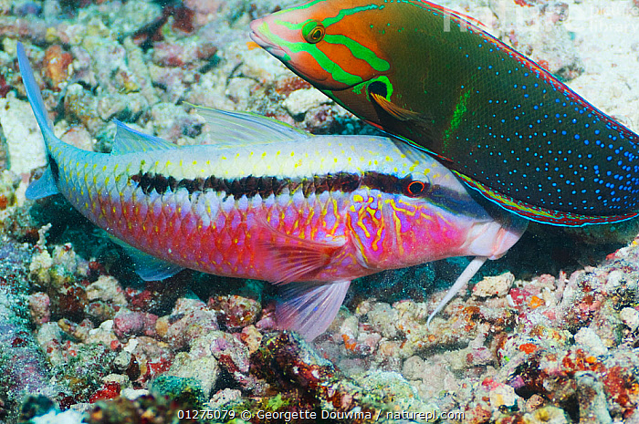 Dash-and-dot goatfish (Parupeneus barberinus) digging in coral rubble for prey, accompanied by a Yellowtail coris (Coris gaimard) hoping to catch any escaping prey. Misool, Raja Ampat, West Papua, Indonesia.  ,  BEHAVIOUR,CORAL REEF,FISH,GOATFISH,INDONESIA,INDO PACIFIC,MARINE,MIXED SPECIES,OSTEICHTHYES,PREY,TROPICAL,TWO,VERTEBRATES,WEST PAPUA,YELLOWTAIL,SOUTH-EAST-ASIA,Asia  ,  Georgette Douwma