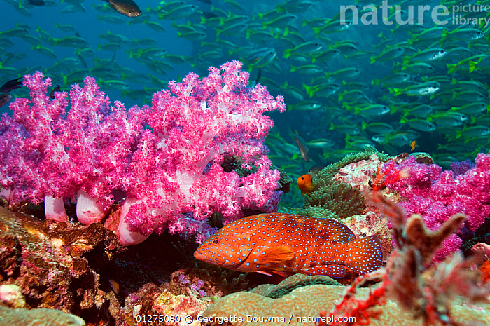 Coral hind (Cephlopholus miniata) with soft corals and school of Snappers. Andaman Sea, Thailand.  ,  COLOURFUL,CORAL REEFS,FISH,GROUPERS,GROUPS,INDO PACIFIC,MARINE,MIXED SPECIES,ORANGE,OSTEICHTHYES,PURPLE,SNAPPER,TROPICAL,UNDERWATER,VERTEBRATES  ,  Georgette Douwma