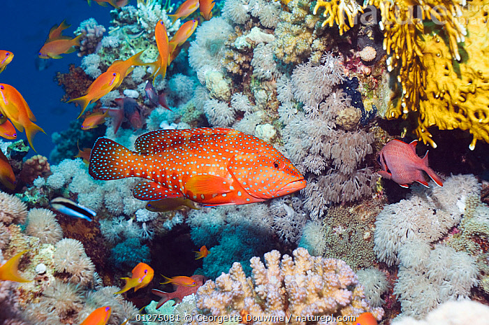 Coral hind (Cephalopholis miniata) and Lyretail anthias (Pseudanthias squammipinnis) on coral reef, Egypt, Red Sea  ,  COLOURFUL,CORAL REEFS,EGYPT,FISH,GROUPERS,MARINE,OSTEICHTHYES,RED SEA,TROPICAL,UNDERWATER,VERTEBRATES,NORTH-AFRICA,Africa  ,  Georgette Douwma