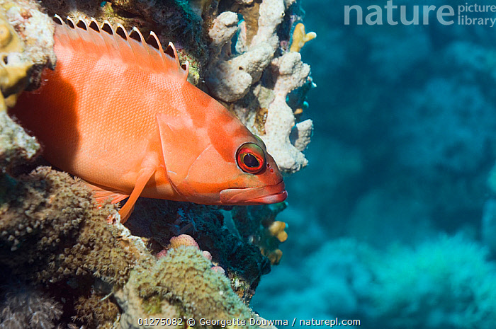 Blacktip grouper (Epinephelus fasciatus) perched on corals. Egypt, Red Sea  ,  CORAL,CORAL REEFS,EGYPT,FISH,GROUPERS,MARINE,NORTH AFRICA,OSTEICHTHYES,RED SEA,TROPICAL,UNDERWATER,VERTEBRATES,NORTH-AFRICA,Africa  ,  Georgette Douwma