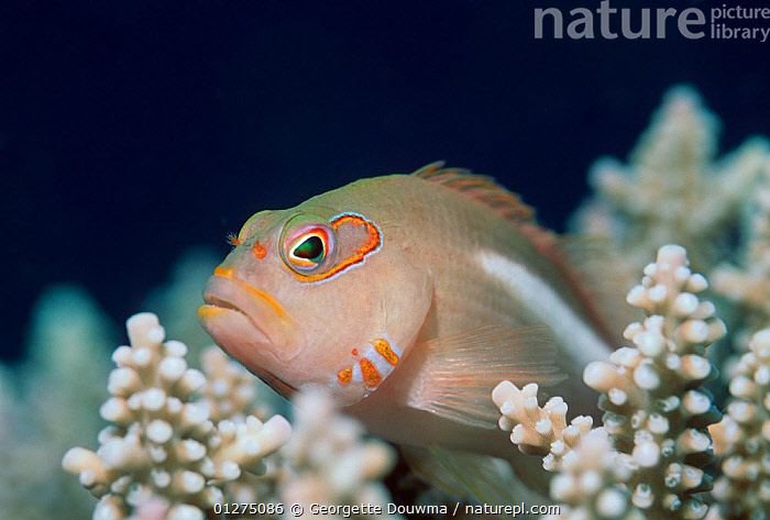Hawkfish {Paracirrhites sp} amongst coral, Indonesia  ,  CORAL,CORAL REEFS,FISH,HAWKFISH,INDO PACIFIC,MARINE,OSTEICHTHYES,TROPICAL,UNDERWATER,VERTEBRATES,SOUTH-EAST-ASIA,Asia,core collection xtwox  ,  Georgette Douwma