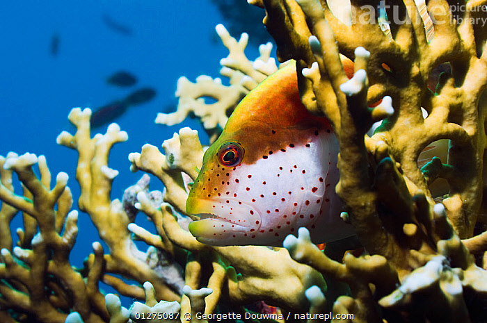 Freckled hawkfish (Paracirrhites forsteri) perched on Fire coral (Millepora dichotoma)  Egypt, Red Sea.  ,  CORAL,CORAL REEFS,EGYPT,FISH,HAWKFISH,MARINE,OSTEICHTHYES,RED SEA,TROPICAL,UNDERWATER,VERTEBRATES,NORTH-AFRICA,Africa  ,  Georgette Douwma