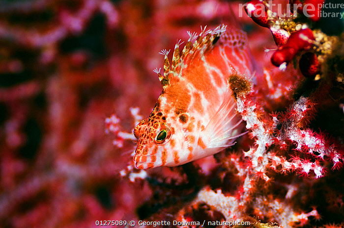 Threadfin hawkfish (Cirrhitichthys aprinus) perched on octocoral. Misool, Raja Ampat, West Papua, Indonesia  ,  CAMOUFLAGE,COLOURFUL,CORAL,CORAL REEFS,FISH,HAWKFISH,INDONESIA,MARINE,OSTEICHTHYES,PINK,TROPICAL,UNDERWATER,VERTEBRATES,WEST PAPUA,SOUTH-EAST-ASIA,Asia  ,  Georgette Douwma