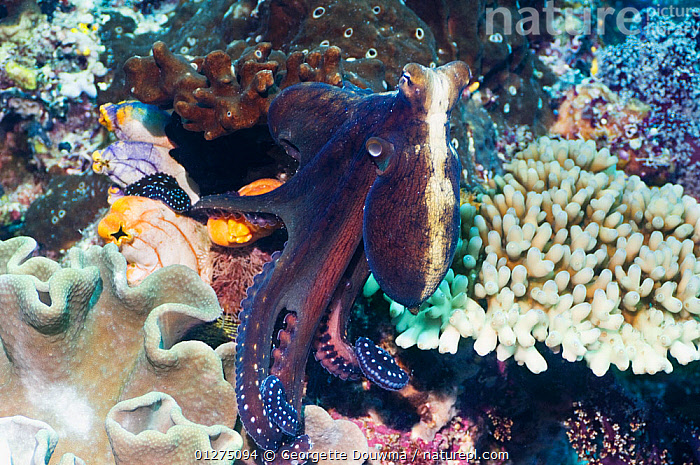 Common reef octopus (Octopus cyanea) hunting on coral reef, Misool, Raja Ampat, West Papua, Indonesia.  ,  BEHAVIOUR,CEPHALOPODS,CORAL,CORAL REEFS,CYANEUS,HUNTING,INDONESIA,INDO PACIFIC,INVERTEBRATES,MARINE,MOLLUSCS,OCTOPUS,PREY,SEA,TROPICAL,UNDERWATER,SOUTH-EAST-ASIA,Asia, Molluscs  ,  Georgette Douwma