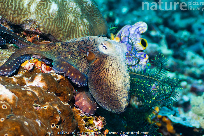 Common reef octopus (Octopus cyanea) hunting over coral. Misool, Raja Ampat, West Papua, Indonesia.  ,  BEHAVIOUR,CAMOUFLAGE,CEPHALOPODS,CORAL,CORAL REEFS,CYANEUS,INDONESIA,INDO PACIFIC,INVERTEBRATES,MARINE,MOLLUSCS,OCTOPUS,SEA,TROPICAL,UNDERWATER,SOUTH-EAST-ASIA,Asia, Molluscs  ,  Georgette Douwma