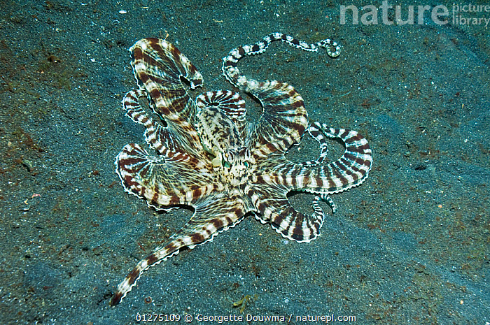 Mimic octopus (Thaumoctopus mimicus) hunting for prey over sandy seabed, one arm is investigating a burrow for prey, Lembeh Strait, North Sulawesi, Indonesia.  ,  ARMS,BEHAVIOUR,CEPHALOPODS,CORAL,HUNTING,INDONESIA,INDO PACIFIC,INVERTEBRATES,MARINE,MOLLUSCS,OCTOPUS,PREY,SEA,SEABED,SEA BED,TROPICAL,UNDERWATER,SOUTH-EAST-ASIA,Asia, Molluscs  ,  Georgette Douwma