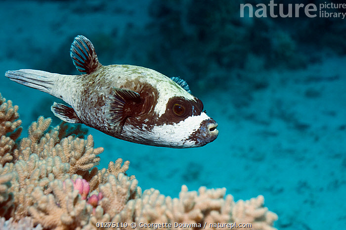 Masked puffer (Arothron diadematus) with Bluestreak cleaner wrasse (Lutjanus dimidiatus). Egypt, Red Sea.  ,  CORAL REEFS,EGYPT,FISH,INDO PACIFIC,MARINE,OSTEICHTHYES,PUFFERFISH,RED SEA,SEA,TROPICAL,UNDERWATER,VERTEBRATES,NORTH-AFRICA,Africa,core collection xtwox  ,  Georgette Douwma