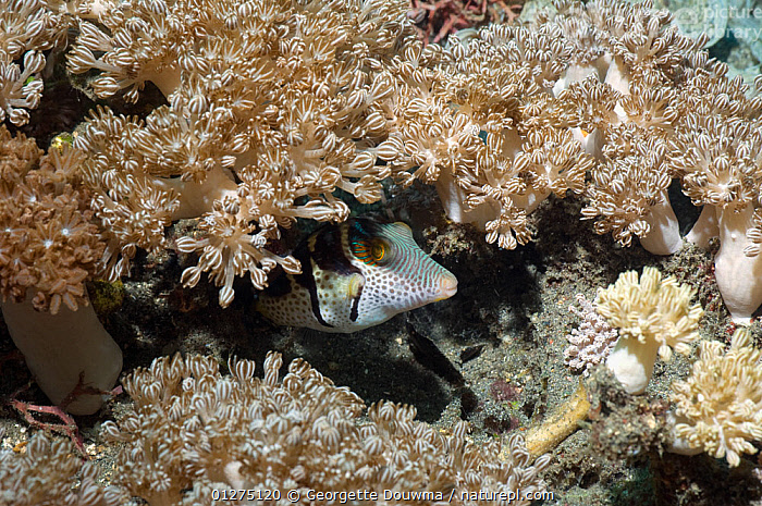 Black-saddled puffer (Canthigaster valentini) hiding in soft coral xeania. Komodo, Indonesia.  ,  BEHAVIOUR,CORAL,CORAL REEFS,FISH,INDONESIA,INDO PACIFIC,MARINE,OSTEICHTHYES,PUFFERFISH,SEA,TROPICAL,UNDERWATER,VERTEBRATES,SOUTH-EAST-ASIA,Asia  ,  Georgette Douwma