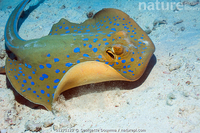 Bluespotted ribbontail ray (Taeniura lymma) on seabed, Egypt, Red Sea.  ,  CHONDRICHTHYES,CORAL,CORAL REEFS,EGYPT,FISH,RAYS,RED SEA,SEABED,SEA BED,TROPICAL,UNDERWATER,VERTEBRATES,NORTH-AFRICA,Africa  ,  Georgette Douwma