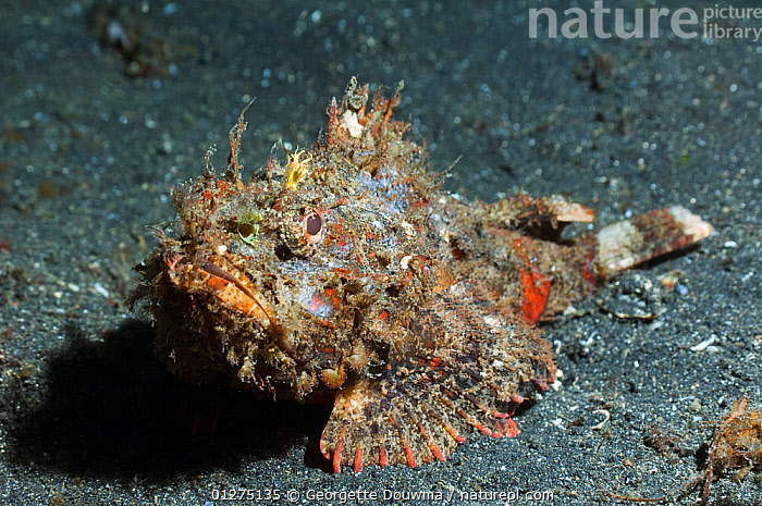 Scorpionfish (Scorpaenopsis sp) camouflaged on seabed, Sulawesi, Indonesia  ,  BEHAVIOUR,CAMOUFLAGE,CORAL,CORAL REEFS,FISH,INDONESIA,INDO PACIFIC,MARINE,OSTEICHTHYES,SCORPIONFISH,SEA,TROPICAL,UNDERWATER,VERTEBRATES,SOUTH-EAST-ASIA,Asia  ,  Georgette Douwma