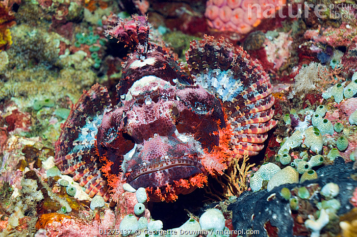 Tassled scorpionfish (Scorpaenopsis oxycephala) on coral reef. Philippines.  ,  ABSTRACT,CAMOUFLAGE,COLOURFUL,CORAL,CORAL REEFS,FISH,INDONESIA,INDO PACIFIC,MARINE,OSTEICHTHYES,SCORPIONFISH,SEA,TROPICAL,UNDERWATER,VERTEBRATES,SOUTH-EAST-ASIA,Asia  ,  Georgette Douwma