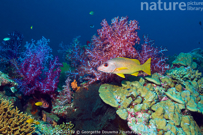 Brown-striped red snapper (Lutjanus vitta) with soft corals. Andaman Sea, Thailand.  ,  CORAL,CORAL REEFS,FISH,INDO PACIFIC,LANDSCAPES,MARINE,OSTEICHTHYES,SEA,SNAPPERS,SOUTH EAST ASIA,THAILAND,TROPICAL,UNDERWATER,VERTEBRATES,SOUTH-EAST-ASIA  ,  Georgette Douwma