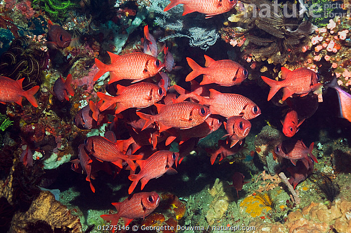 Shoal of Bigscale soldierfish (Myripristis berndti). Rinca, Indonesia.  ,  CORAL,CORAL REEFS,FISH,INDONESIA,INDO PACIFIC,MARINE,OSTEICHTHYES,RED,SEA,SHOAL,SOLDIERFISH,SOUTH EAST ASIA,TROPICAL,UNDERWATER,VERTEBRATES,SOUTH-EAST-ASIA,Asia,,NP,Komodo National Park,UNESCO World Heritage Site,  ,  Georgette Douwma
