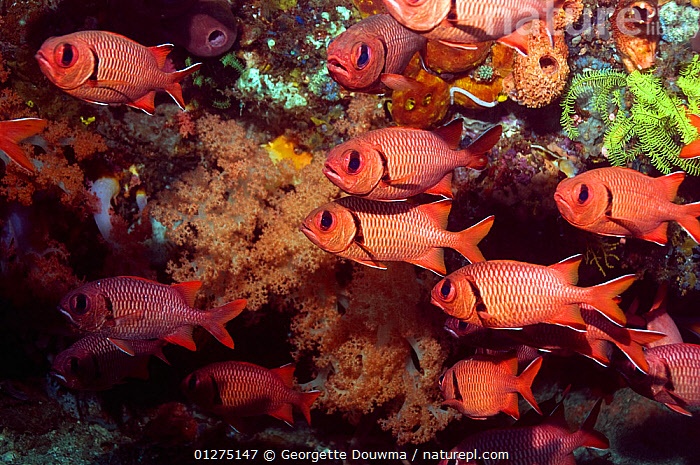 Shoal of Bigscale soldierfish (Myripristis berndti). Rinca, Indonesia.  ,  CORAL,CORAL REEFS,FISH,INDONESIA,INDO PACIFIC,MARINE,OSTEICHTHYES,SEA,SHOAL,SOLDIERFISH,SOUTH EAST ASIA,TROPICAL,UNDERWATER,VERTEBRATES,SOUTH-EAST-ASIA,Asia,,NP,Komodo National Park,UNESCO World Heritage Site,  ,  Georgette Douwma