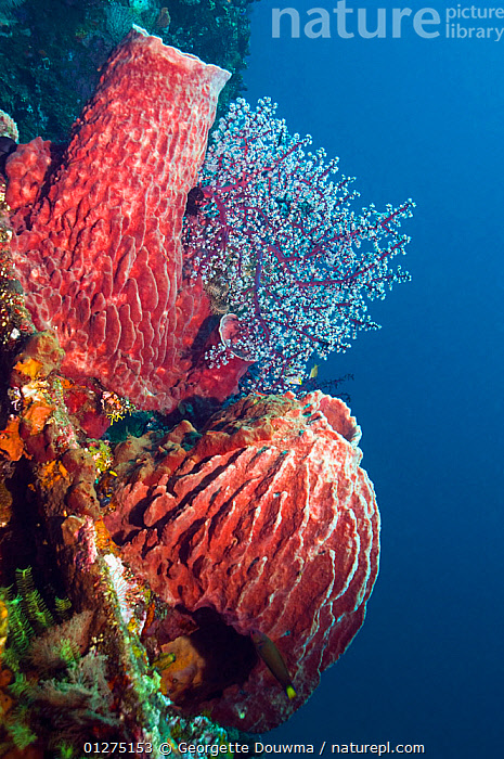 Barrel sponges (Xestospongia testudinaria) growing on shipwreck of 'The Liberty', Bali, Indonesia.  ,  CORAL,CORAL REEFS,INDONESIA,INDO PACIFIC,INVERTEBRATES,MARINE,PORIFERA,SEA,SHIP WRECK,SOUTH EAST ASIA,SPONGES,TROPICAL,UNDERWATER,VERTICAL,WRECKS,SOUTH-EAST-ASIA,Asia  ,  Georgette Douwma