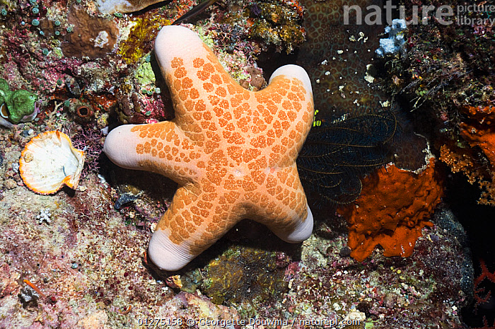 Granulated starfish (Choriaster granulatus) on coral reef, Misool, Raja Ampat, West Papua, Indonesia.  ,  ASTEROIDEA,CORAL,CORAL REEFS,ECHINODERMS,INDONESIA,INDO PACIFIC,INVERTEBRATES,SEA,SEA STARS,SOUTH EAST ASIA,STARFISH,TROPICAL,UNDERWATER,WEST PAPUA,SOUTH-EAST-ASIA,Asia  ,  Georgette Douwma