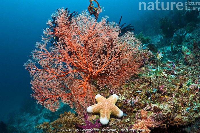 Granulated starfish (Choriaster granulatus) with gorgonian coral on coral reef. Misool, Raja Ampat, West Papua, Indonesia.  ,  ASTEROIDEA,CORAL,CORAL REEFS,ECHINODERMS,GORGONIAN,INDONESIA,INDO PACIFIC,INVERTEBRATES,SEA,SEA STARS,STARFISH,TROPICAL,UNDERWATER,WEST PAPUA,SOUTH-EAST-ASIA,Asia  ,  Georgette Douwma