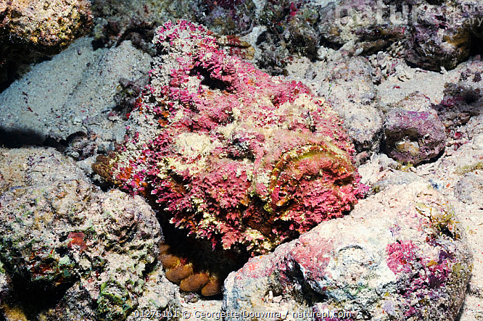Stonefish (Synanceja verrucosa) camouflaged on coral reef, Egypt, Red Sea.  ,  CAMOUFLAGE,CORAL REEFS,EGYPT,FISH,MARINE,OSTEICHTHYES,RED SEA,SEA,STONEFISH,TROPICAL,UNDERWATER,VERTEBRATES,NORTH-AFRICA,Africa  ,  Georgette Douwma