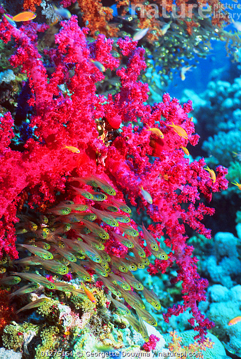 Pygmy sweepers (Parapriacanthus ransonneti) with soft coral (Dendronephthya sp) Andaman Sea, Thailand.  ,  COLOURFUL,CORAL,CORAL REEFS,FISH,GROUPS,MARINE,OSTEICHTHYES,PINK,SEA,SHOAL,SOUTH EAST ASIA,SWEEPERS,THAILAND,TROPICAL,UNDERWATER,VERTEBRATES,VERTICAL,SOUTH-EAST-ASIA  ,  Georgette Douwma