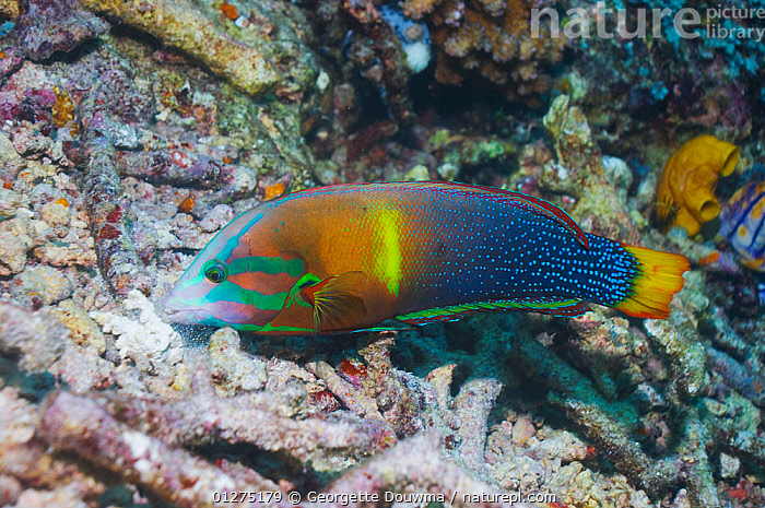Yellowtail Coris / Clown wrasse (Coris gaimardi) searching for molluscs, crustaceans and urchins in coral rubble. Misool, Raja Ampat, West Papua, Indonesia.  ,  BEHAVIOUR,COLOURFUL,CORAL REEFS,FISH,FORAGING,INDONESIA,INDO PACIFIC,MARINE,OSTEICHTHYES,TROPICAL,VERTEBRATES,WEST PAPUA,WRASSE,SOUTH-EAST-ASIA,Asia  ,  Georgette Douwma