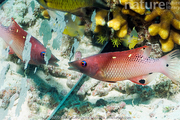 Diana's hogfish (Bodianus diana) attacking its reflection in a mirror. Misool, Raja Ampat, West Papua, Indonesia.  ,  AGGRESSION,ATTACK,ATTACKING,BEHAVIOUR,CORAL,FISH,INDONESIA,INDO PACIFIC,MARINE,MIRROR,OSTEICHTHYES,POLLUTION,REFLECTIONS,SOUTH EAST ASIA,TROPICAL,UNDERWATER,VERTEBRATES,WRASSE,Concepts,SOUTH-EAST-ASIA,Asia  ,  Georgette Douwma