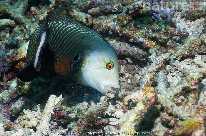 Rockmover or Dragon wrasse (Novaculichthys taeniourus) moving coral rubble to find benthic invertebrates to feed on. Misool, Raja Ampat, West Papua, Indonesia.  ,  CORAL REEFS,BEHAVIOUR,FEEDING,FISH,FORAGING,INDONESIA,MARINE,MOVING,OSTEICHTHYES,UNDERWATER,VERTEBRATES,WEST PAPUA,WRASSE,SOUTH-EAST-ASIA,Asia  ,  Georgette Douwma