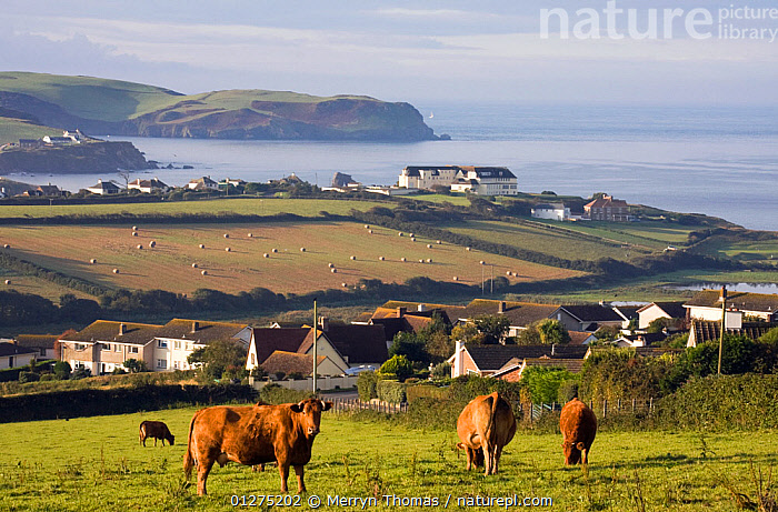 Jersy cows grazing in field at Thurlestone in the early morning. South Devon, September 2009.  ,  ARTIODACTYLA,BOVIDS,CATTLE,COASTS,COUNTRYSIDE,DEVON,ENGLAND,EUROPE,LANDSCAPES,LIVESTOCK,MAMMALS,SUMMER,UK,VERTEBRATES, United Kingdom  ,  Merryn Thomas