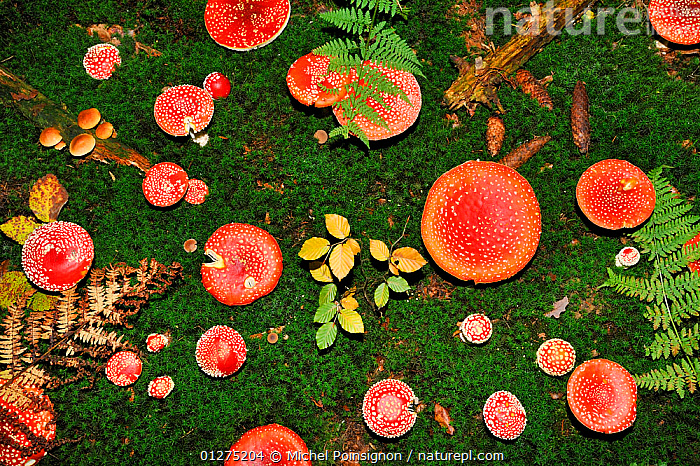 Looking down on a large group of Fly agaric fungi  caps {Amanita muscaria} Lorraine, France  ,  AMANITACEAE,COLOURFUL,EUROPE,FRANCE,FUNGI,FUNGUS,HIGH ANGLE SHOT,RED,TOADSTOOLS  ,  Michel Poinsignon