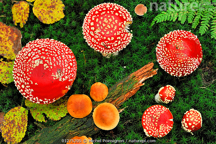 Looking down on a large group of Fly agaric fungi caps {Amanita muscaria} Lorraine, France  ,  AMANITACEAE,AUTUMN,COLOURFUL,EUROPE,FRANCE,FUNGI,FUNGUS,HIGH ANGLE SHOT,RED,SPOTS,TOADSTOOLS  ,  Michel Poinsignon