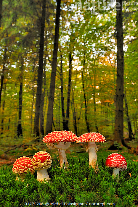 Group of Fly agaric fungi {Amanita muscaria} in woodland, Lorraine, France  ,  AMANITACEAE,COLOURFUL,EUROPE,FIVE,FRANCE,FUNGI,FUNGUS,HABITAT,RED,TOADSTOOLS,VERTICAL,WOODLANDS  ,  Michel Poinsignon