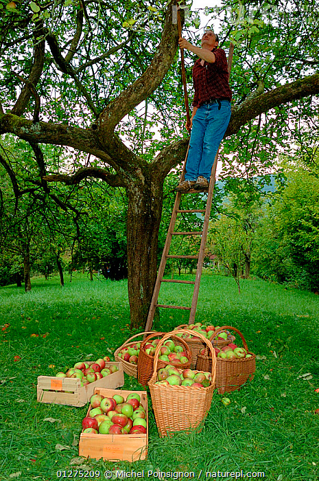 Man picking Rambour Apples {Malus domestica} from tree, Lorraine, France, 2006  ,  apples, Baskets, CROPS, EUROPE, FRANCE, FRUIT, HARVESTING, ladders, MAN, orchards, PEOPLE, picking, PLANTS, ROSACEAE, TREES, VERTICAL  ,  Michel Poinsignon